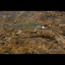 Freshwater Flyfishing Images - photo 6
